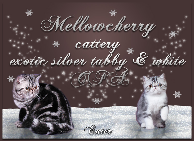 persian and exotic cats cattery Mellowcherry